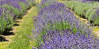 ~ Carousel Lavender Farm ~