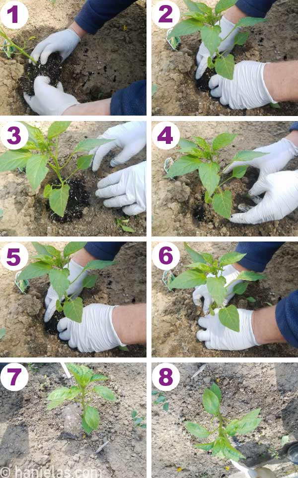 Hands placing a seedling into a hole in the soil and firmly pressing it down.
