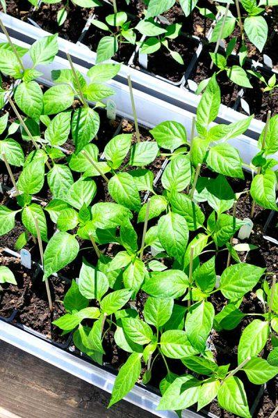 Green pepper leaves.