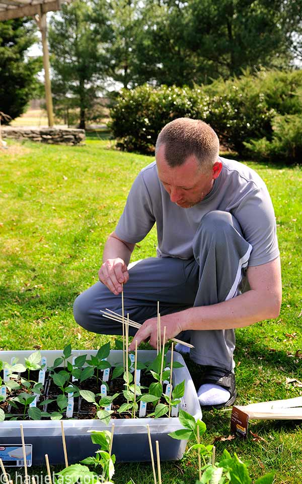 A man inserting a bamboo stick into a seedling for support.