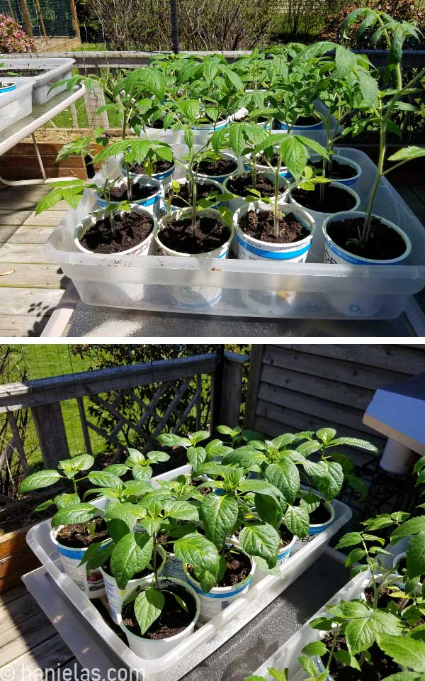 Pepper and tomato seedling in a large plastic bin on a porch table.