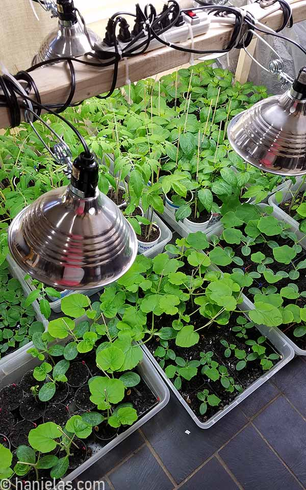 Established seedlings in containers under lights.