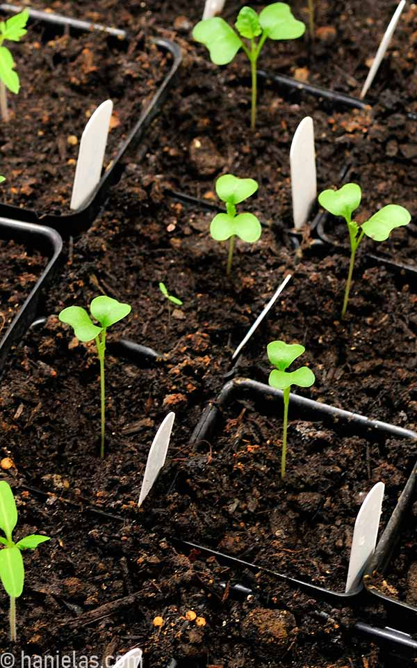 Small seedlings with seed leaves in containers.