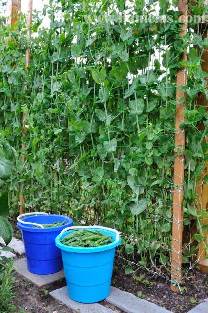 Spring Garden Harvest and a Video Garden Tour